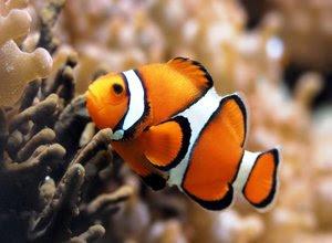 Bagaimana cara memelihara ikan badut di akuarium Simak Ingin Memelihara Ikan Badut? Baca Tipsnya Dulu!